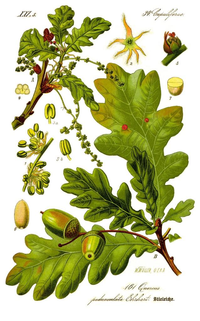 dab-szypulkowy-ziolo-2