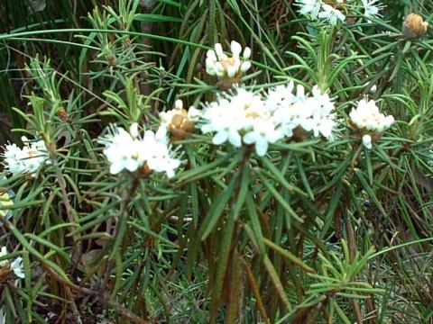 bagno-zwyczajne-ziolo-1