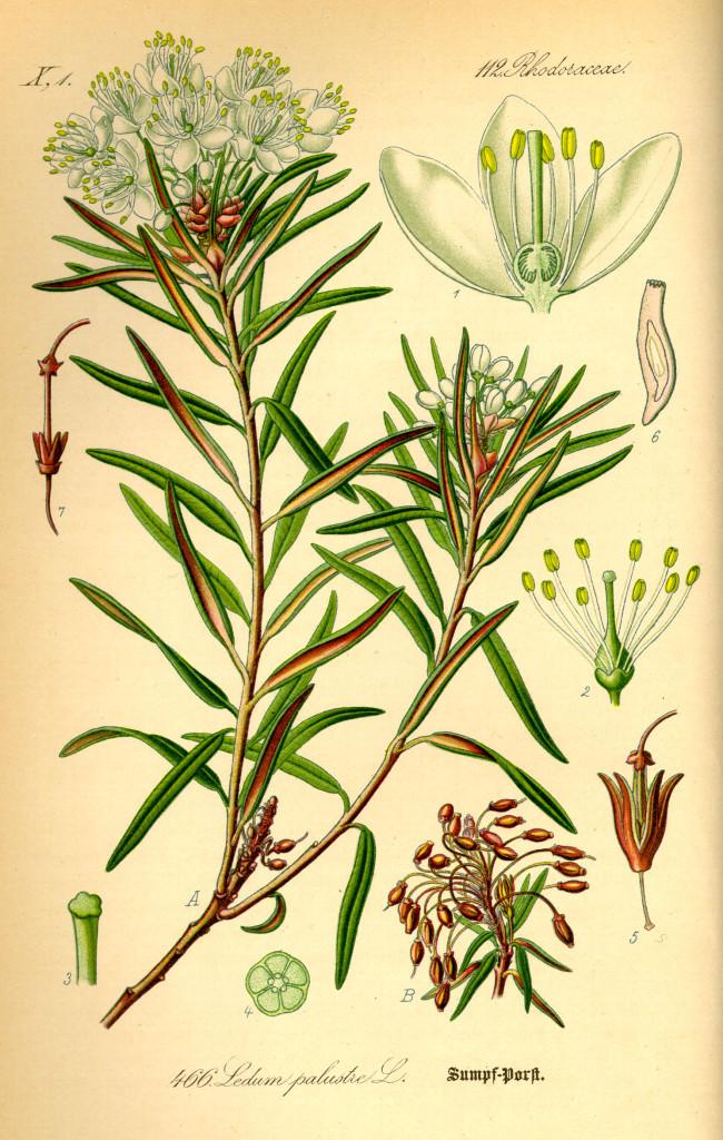bagno-zwyczajne-ziolo-10