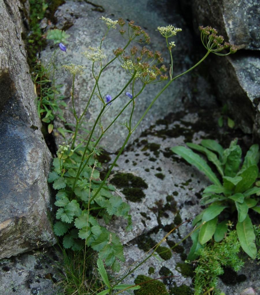 biedrzeniec-mniejszy-ziolo-3