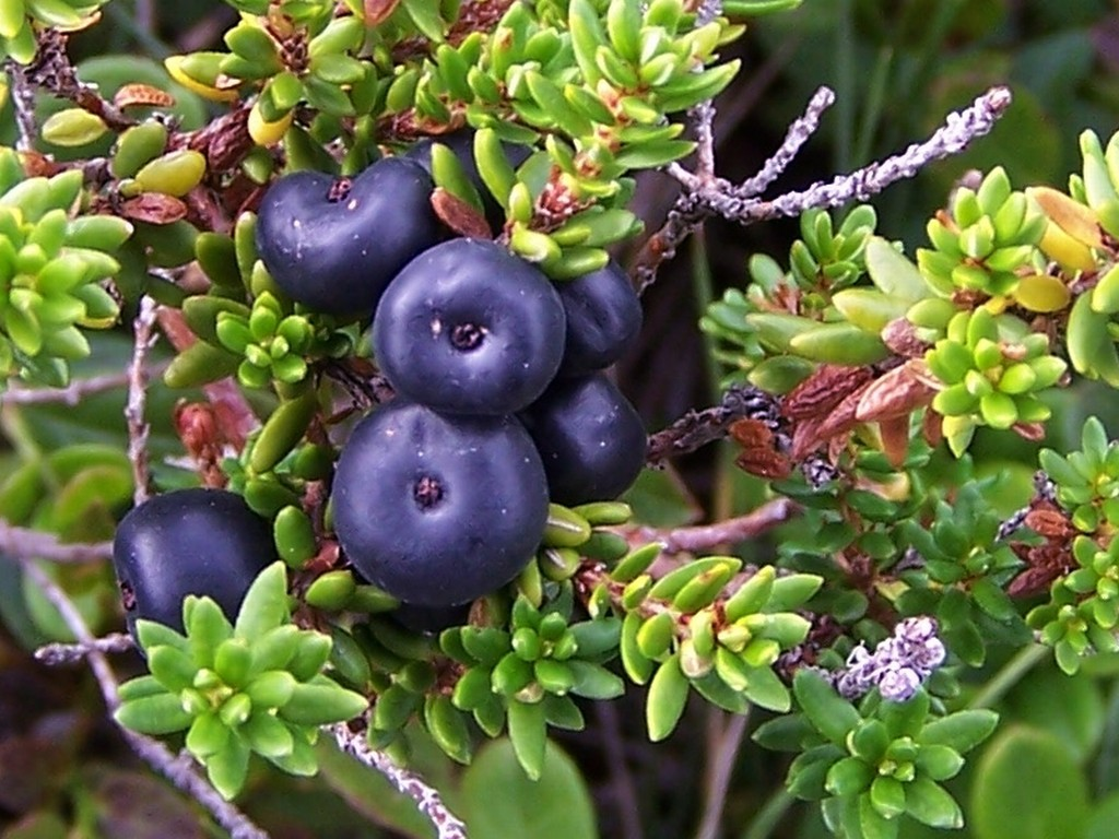 borowka-czarna-ziolo-6