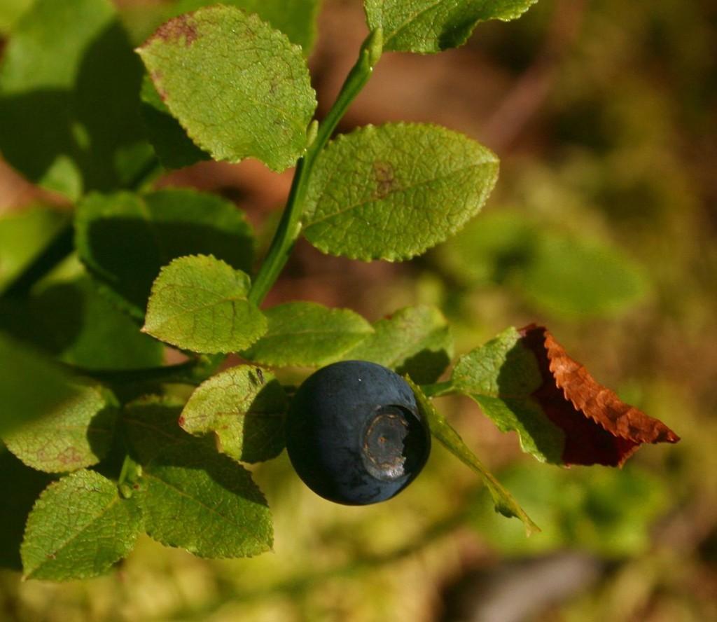 borowka-czarna-ziolo-8