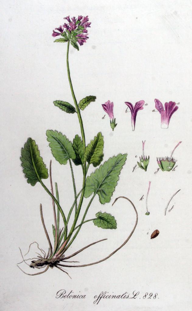 bukwica-zwyczajna-ziolo-2