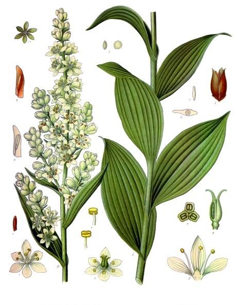 ciemiezyca-biala-ziolo-1
