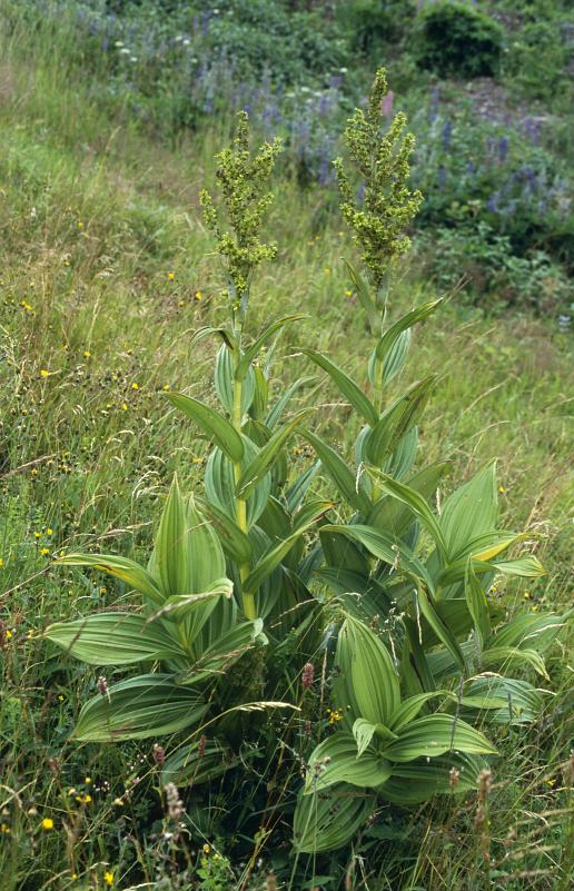 ciemiezyca-zielona-ziolo-1