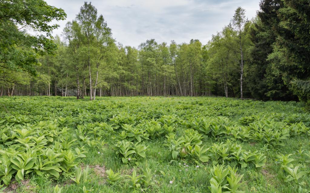 ciemiezyca-zielona-ziolo-4