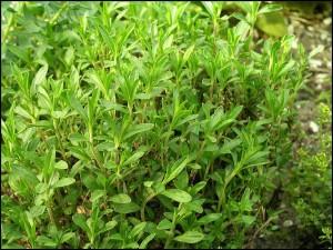 czaber-ogrodowy