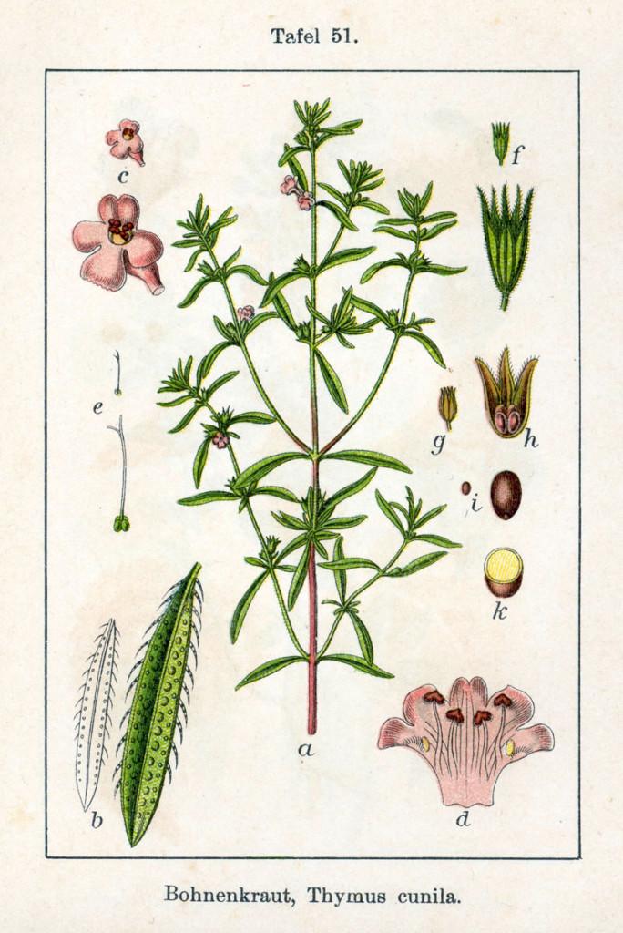 czaber-ogrodowy-ziolo-2
