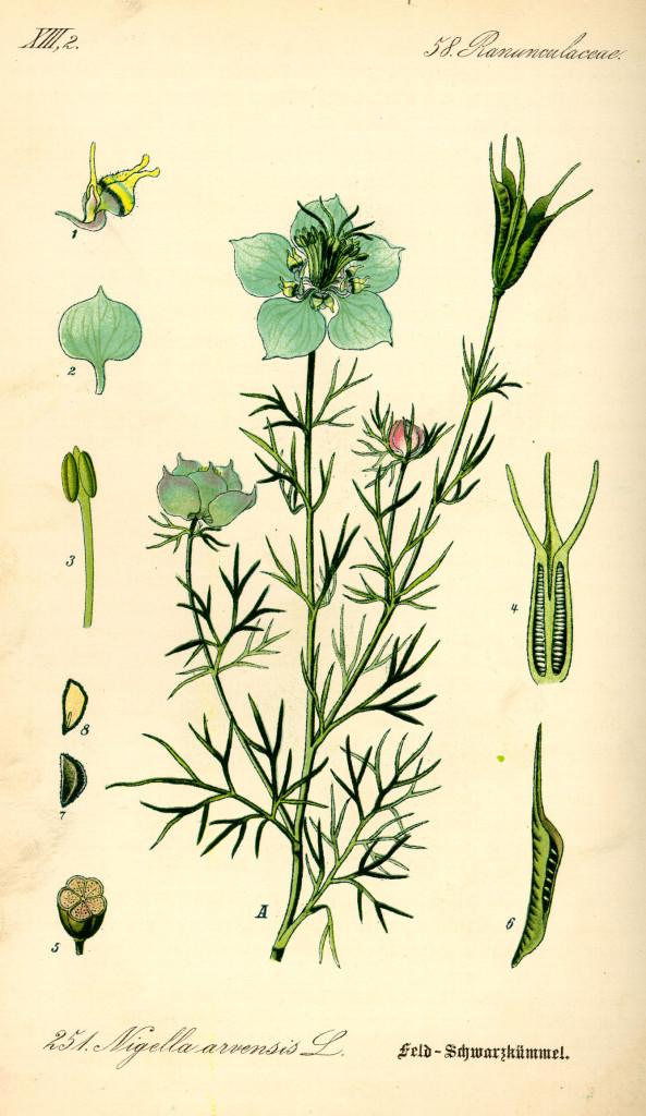czarnuszka-siewna-ziolo-2