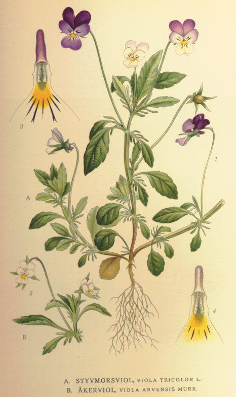 fiolek-trojbarwny-ziolo-4