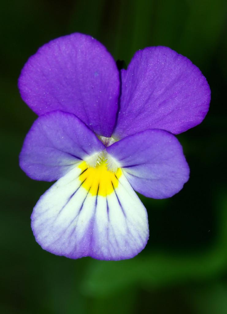 fiolek-trojbarwny-ziolo-8