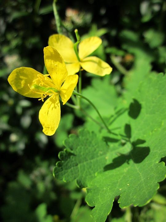 glistnik-jaskolcze-ziele-9